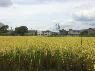 稲その2.jpg