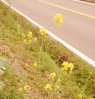 菜の花も咲いています.jpg